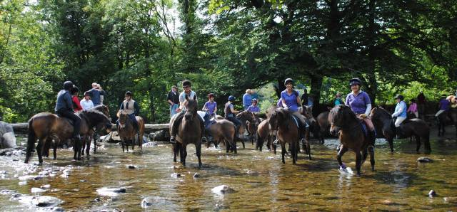 Dozens of Exmoor ponies crossed at Tarr Steps - photo by Peter Yates 2013