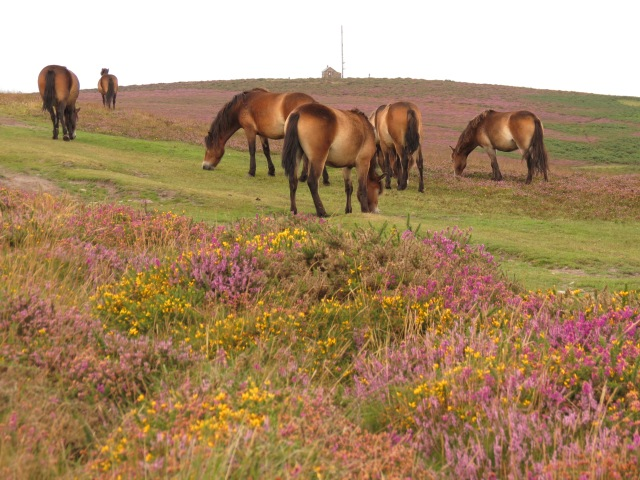 Exmoor Ponies grazing heath 4501©2013jasonpball